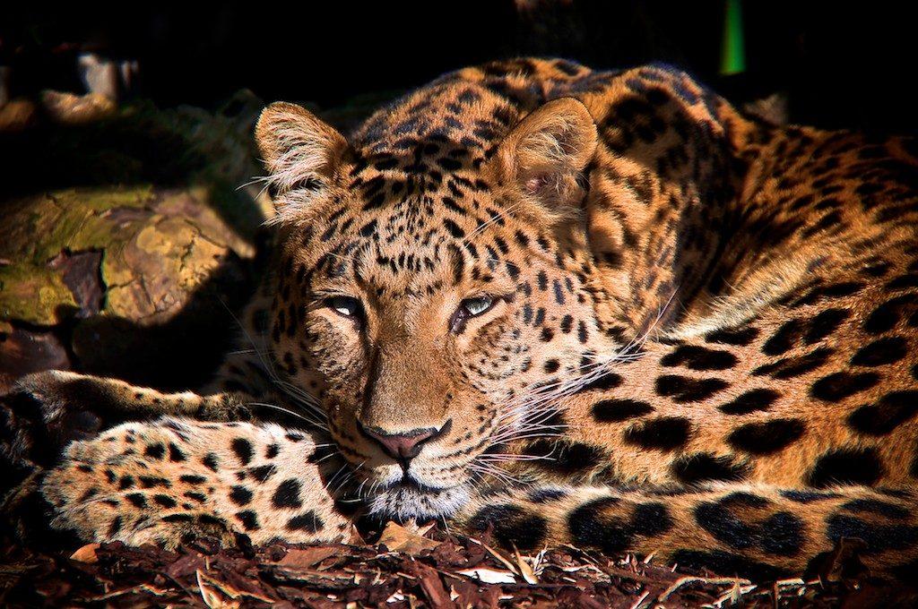 Jaguar, photo de Jm LAHAYE